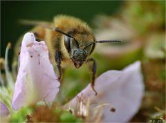 Biene auf Brombeerblüte.