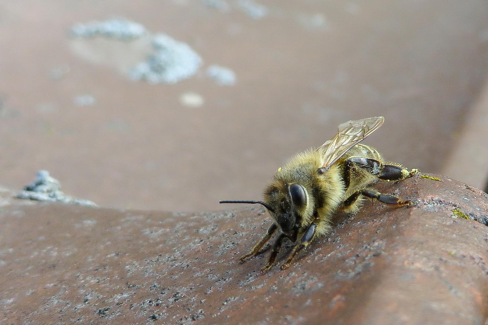 Biene auf dem Dach