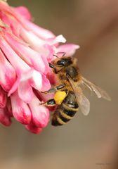 Biene auf dem Duftschneeball