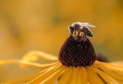 Biene auf dem Sonnenhut
