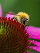 Biene auf der Echinacea