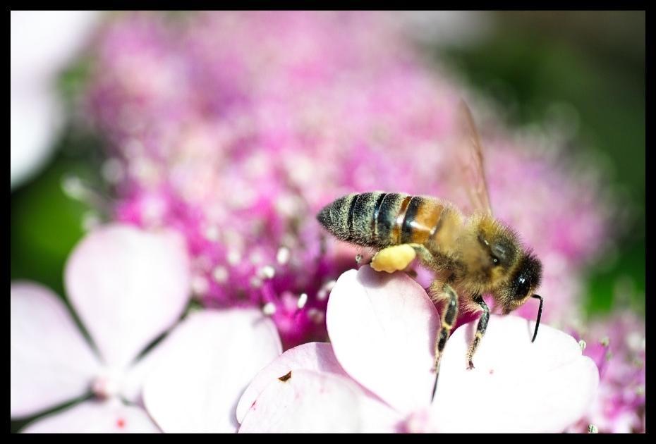 Biene auf der Pirsch