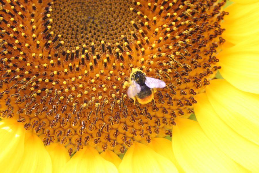 Biene auf der Sonnenblume