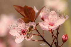 Biene auf einer Blutpflaumenblüte