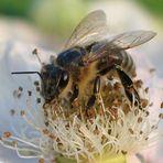 Biene auf einer Brombeerblüte