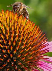 Biene auf einer Echinacea-Blüte!