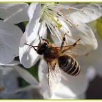 > Biene auf Kirschblüte<