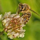 Biene auf Kleeblüte 001