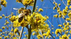 Biene auf Kornelkirschenblüte!