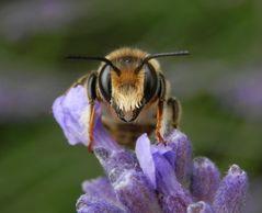 Bienen•Hummeln