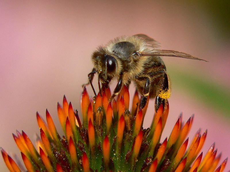 """Biene auf """"Leuchtstern"""""""