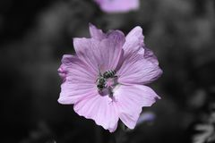 Biene auf Malvenblüte