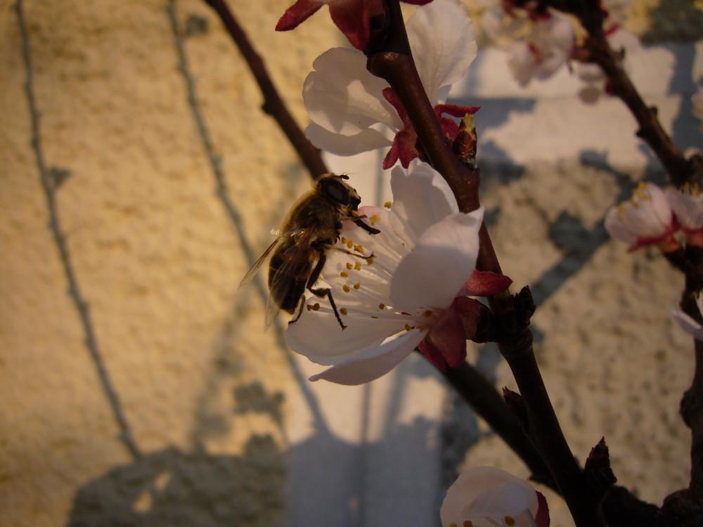 Biene auf Marillenblüte