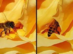 Biene auf Nahrungssuche - erfolgreich