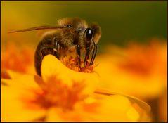 Biene auf Orange...