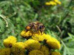 Biene auf Rainfarn