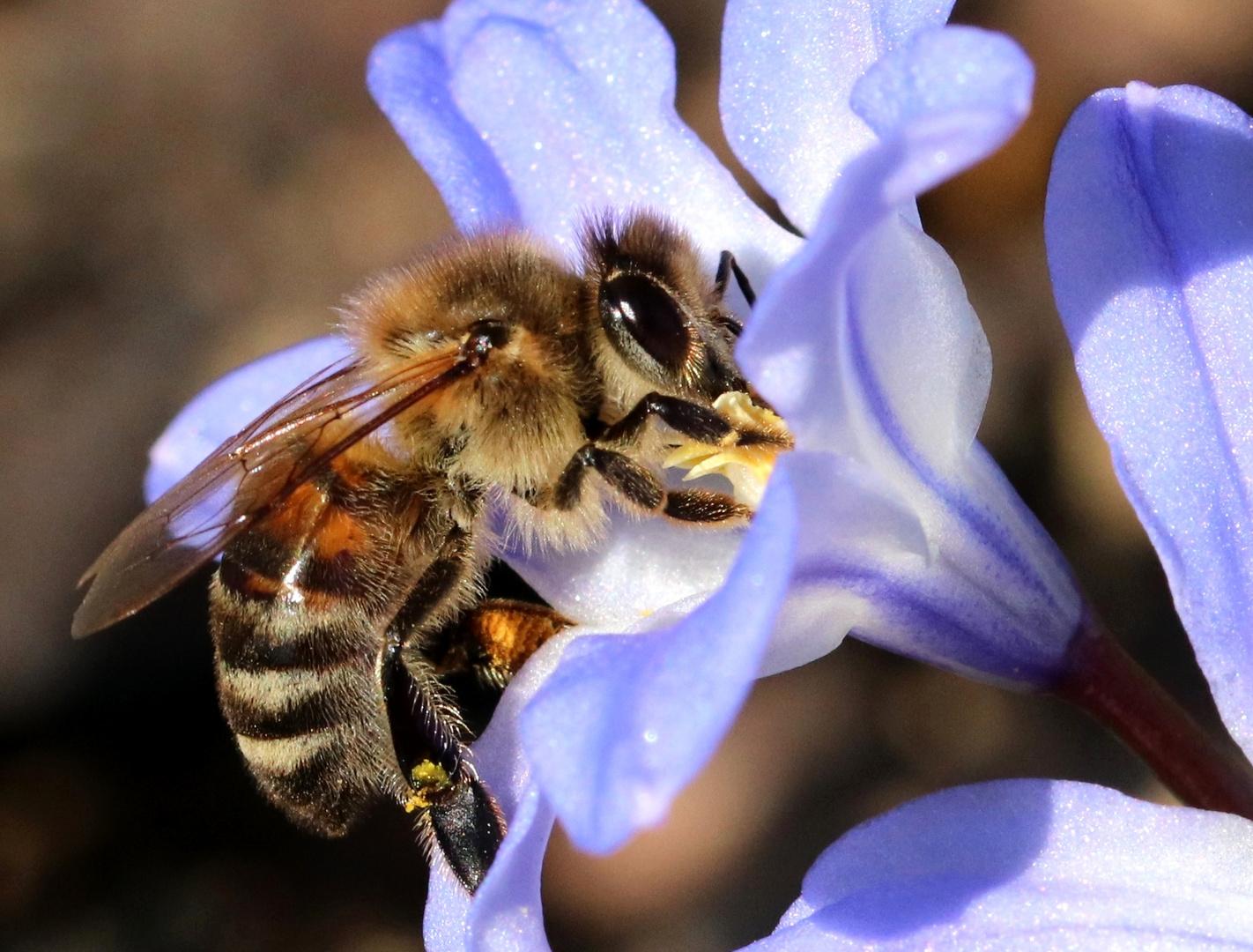 Biene auf Schneeglanz-Blüte