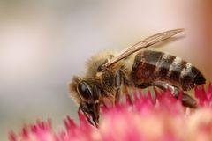 Biene auf Sedum