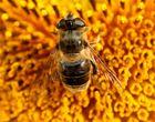Biene auf Sonnenblume..