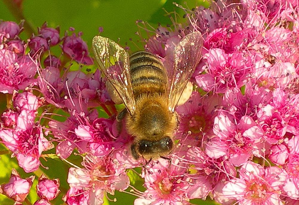 Biene auf Spiraea Japonica