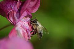 Biene auf Springkrautblüte