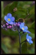 Biene auf Vergissmeinnicht 1