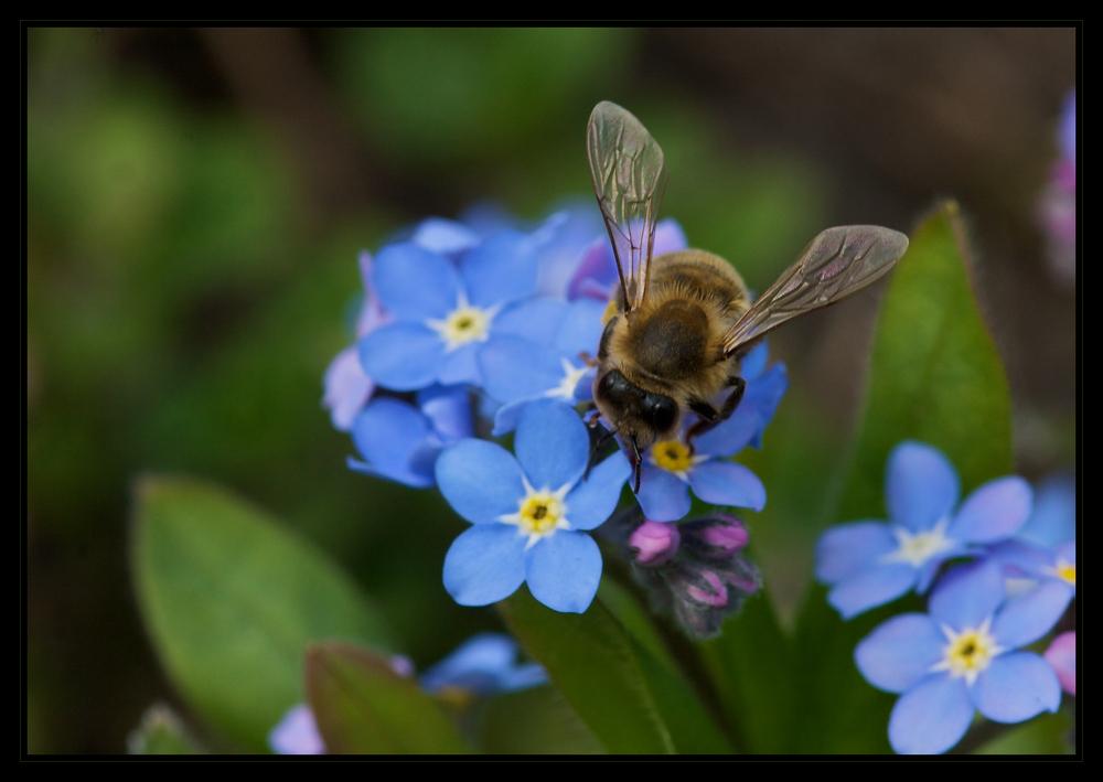 Biene auf Vergissmeinnicht 3