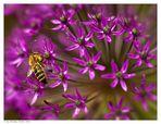 Biene auf Zierlauch