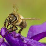 Biene bei der Arbeit (3)