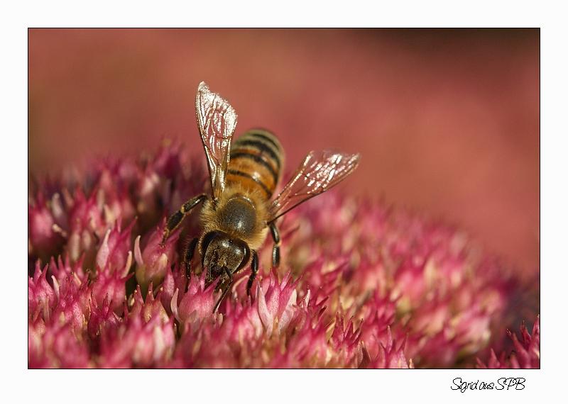 Biene bei der Arbeit....