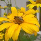 ~ Biene bei der Arbeit ~
