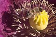 Biene bei der Arbeit_1055