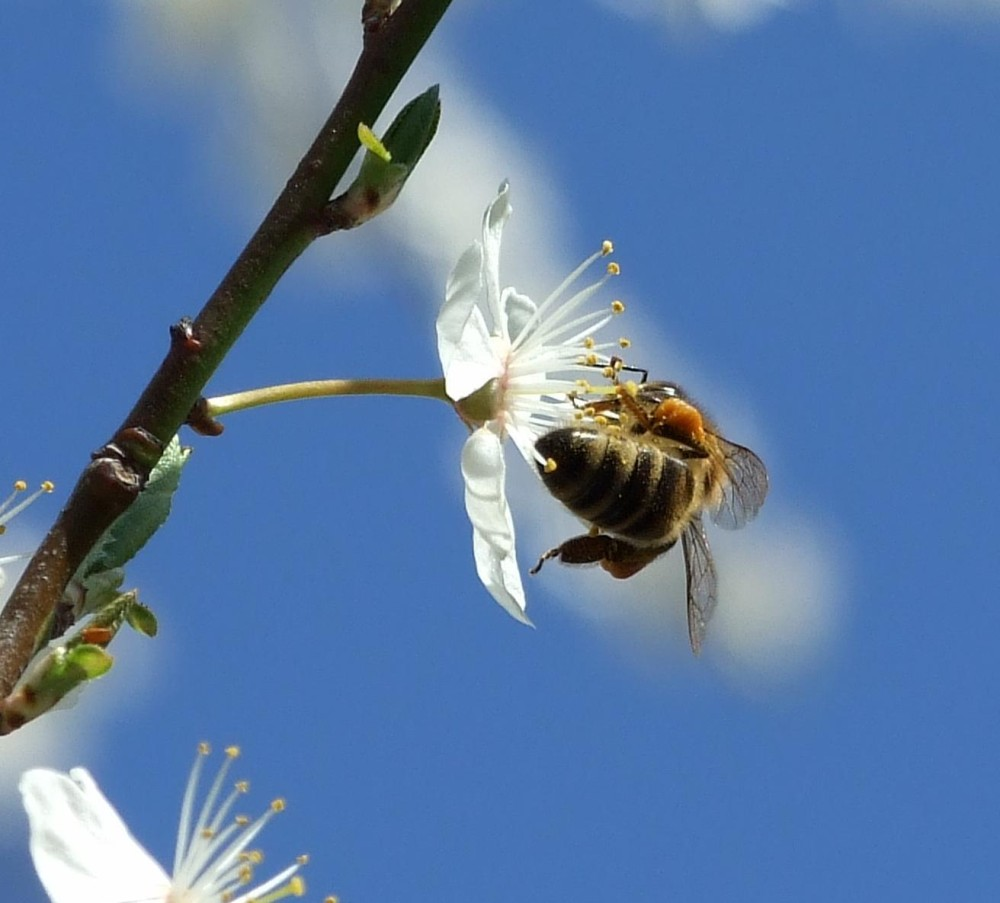 Biene bei der Futtersuche