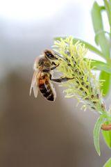Biene bei der Nektarernte