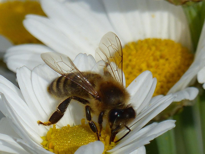 Biene bei der Nektarsuche im Margaritenbäumchen