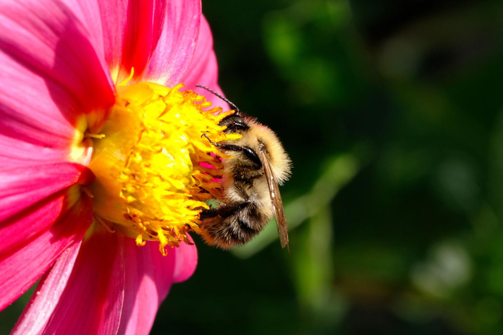 ...Biene beim Essen II