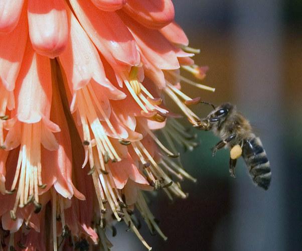 Biene beim Mittagessen