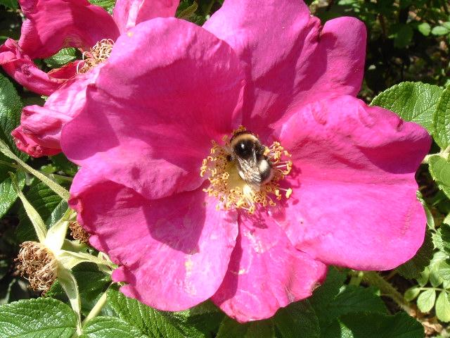 Biene beim Nektarsammeln