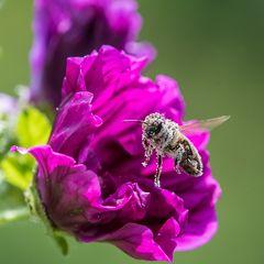 Biene bestäubt
