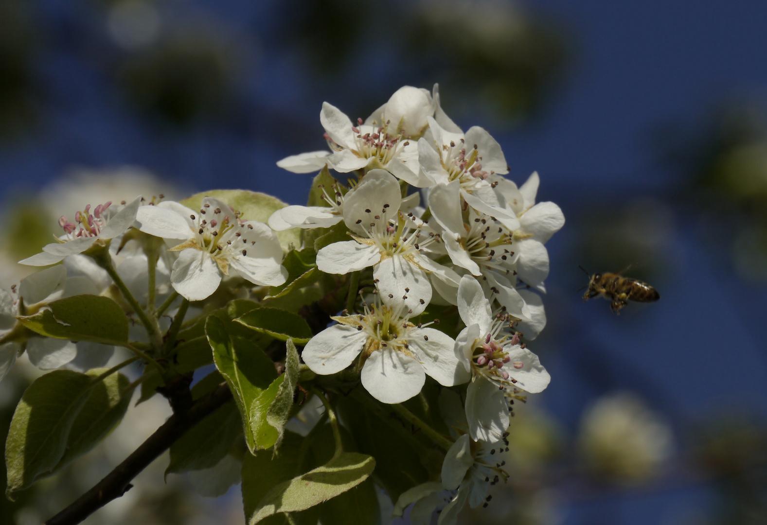 Biene besucht Birnenblüte