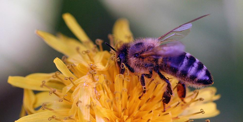 Biene - Ein für mich ein vorbildliches Insekt- Immmer Fleißig!