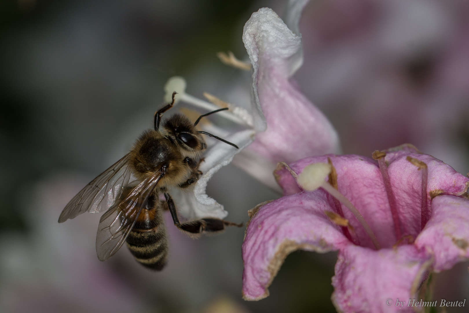 Biene - garnicht so einfach ranzukommen
