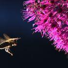 Biene im Anflug an den Zierlauch