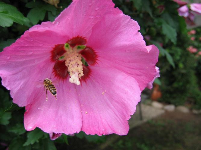 Biene im Anflug auf Blütenkelch