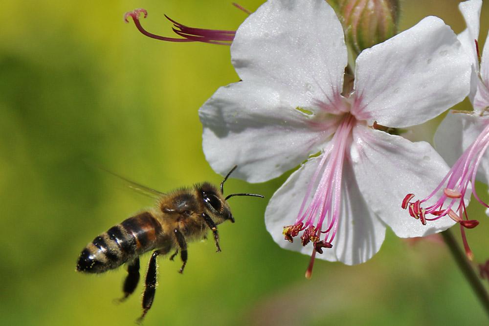 Biene im Anflug auf die Blüte