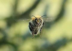 Biene im Anmarsch