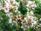 Biene im blühenden Majoran