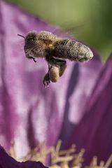 Biene im Flug mit vollen Taschen