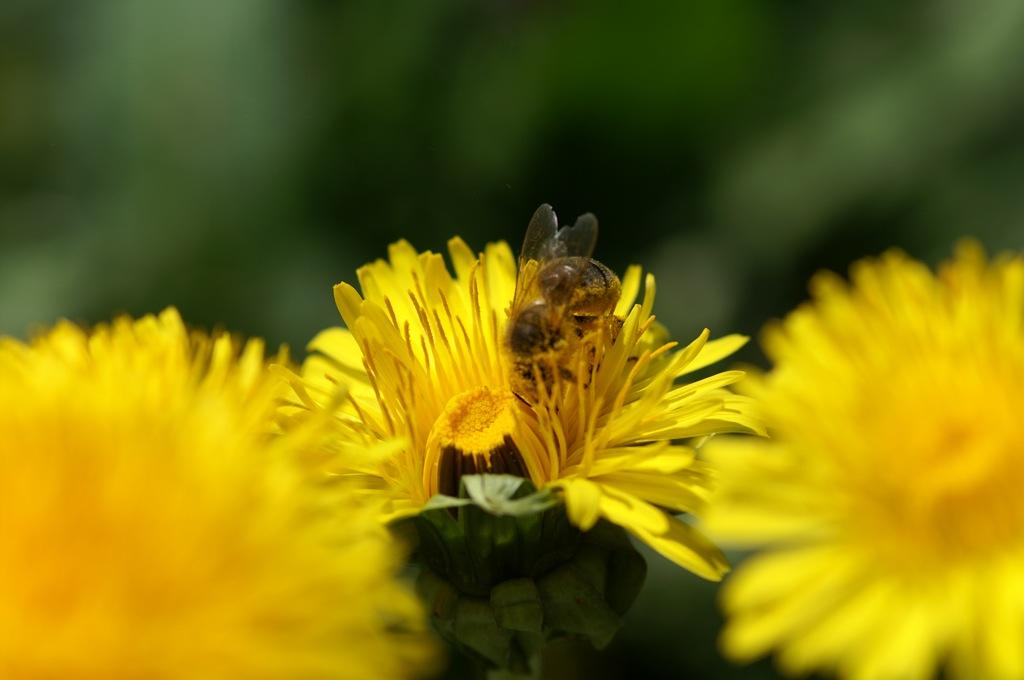 Biene im Löwenzahn