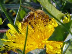 Biene im Pollenbad
